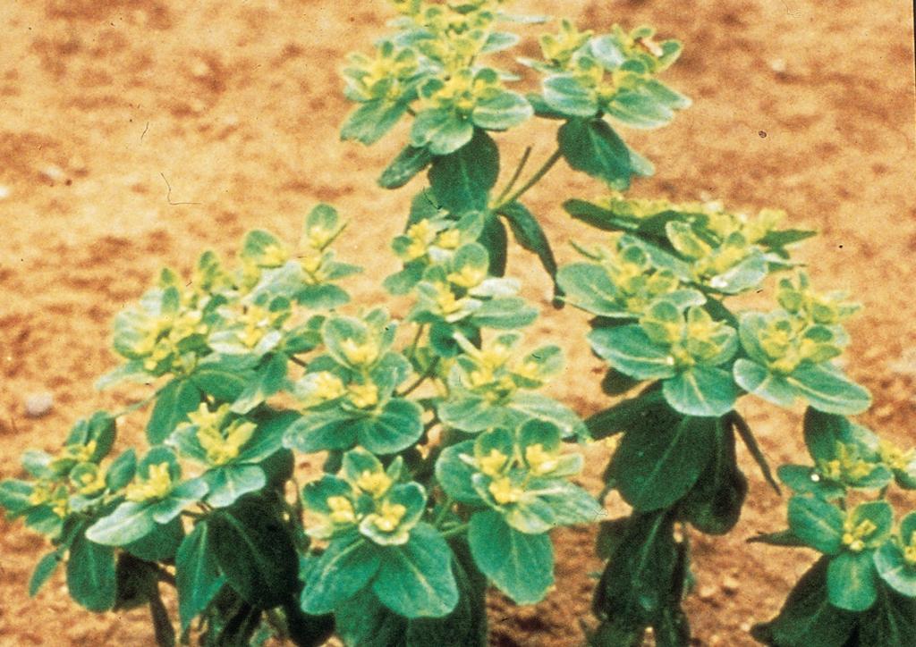 Euphorbia helioscopia - kifejlett növény