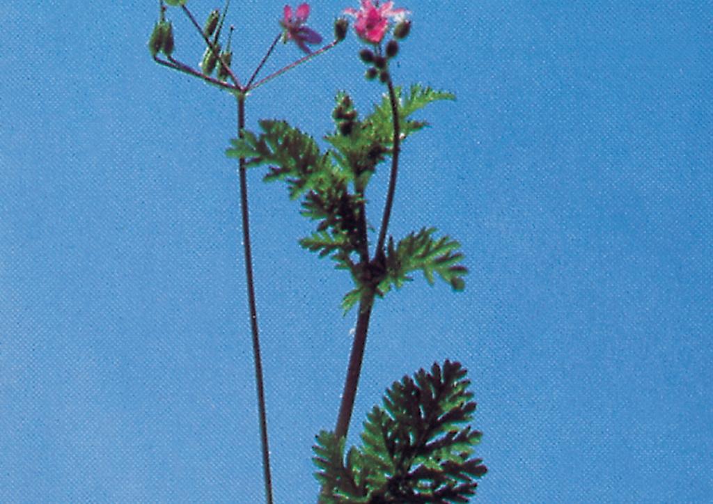 Erodium cicutarium - kifejlett növény