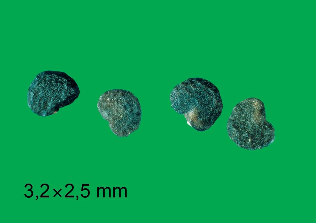 Datura stramonium - mag