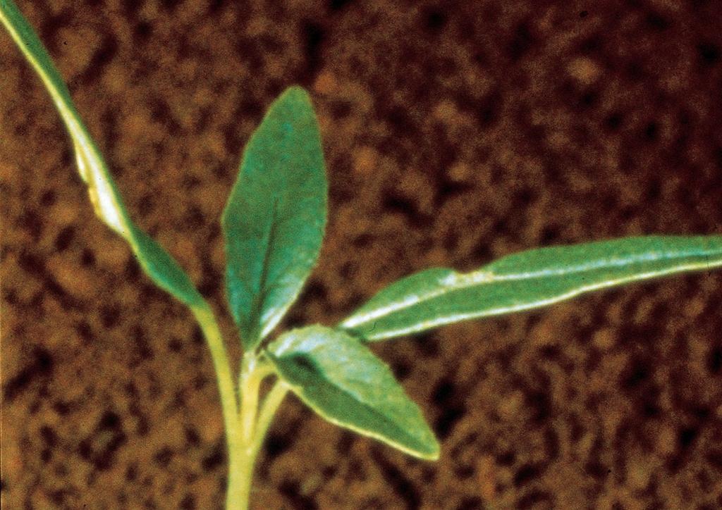 Datura stramonium - csíranövény