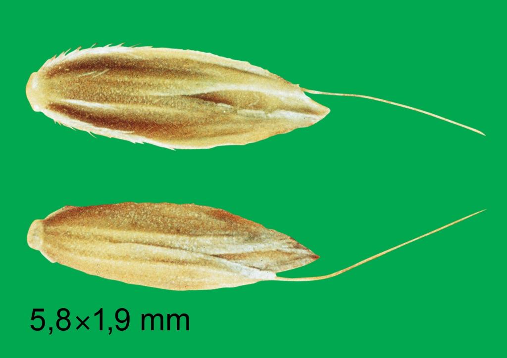 Alopecurus myosuroides - mag