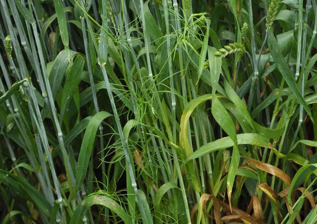 Consolida orientalis - száras hajtásos növény