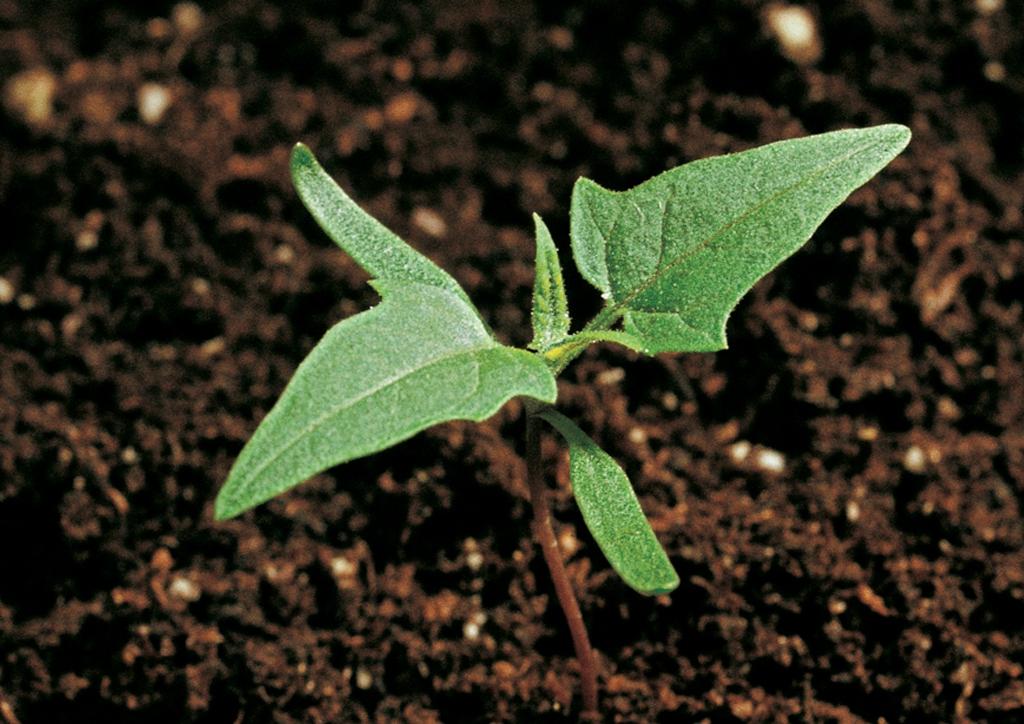 Chenopodium hybridum - csíranövény