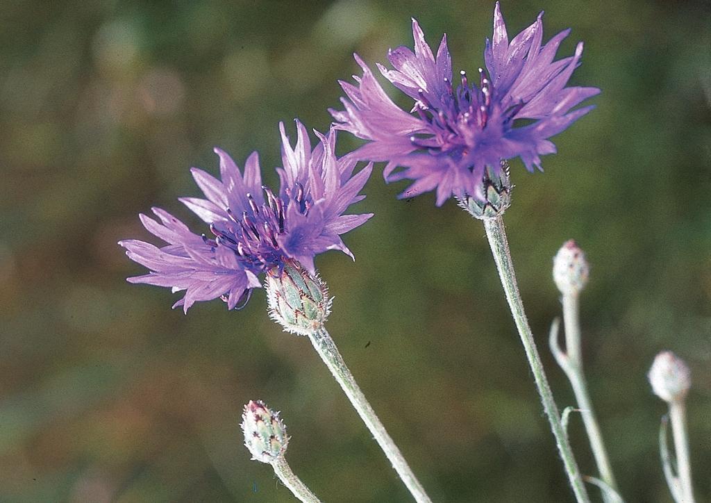 Centaurea cyanus - kifejlett növény
