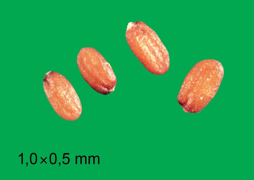 Capsella bursa-pastoris - mag