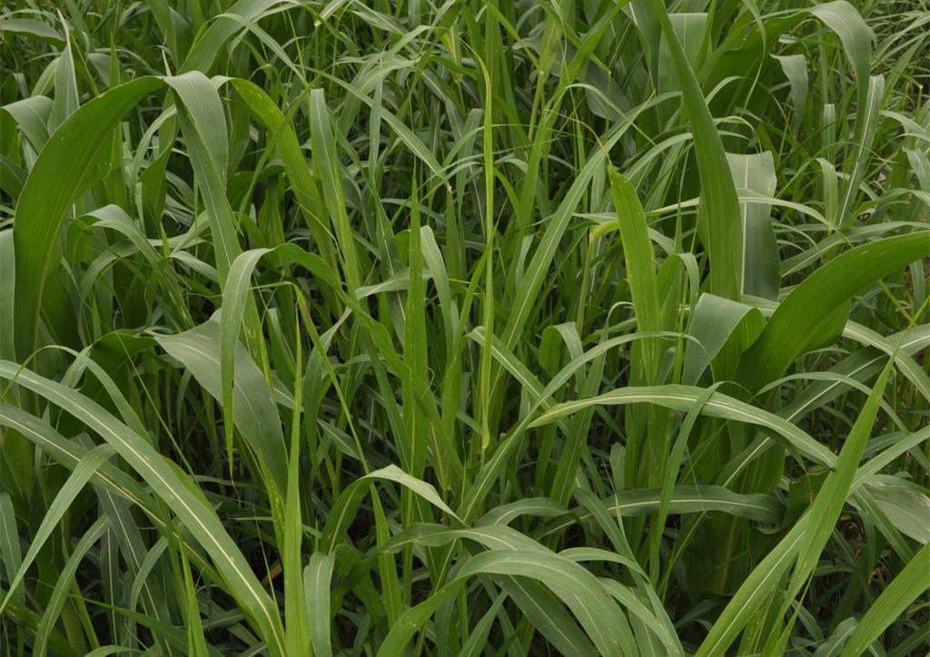 Sorghum halepense - fiatal növény