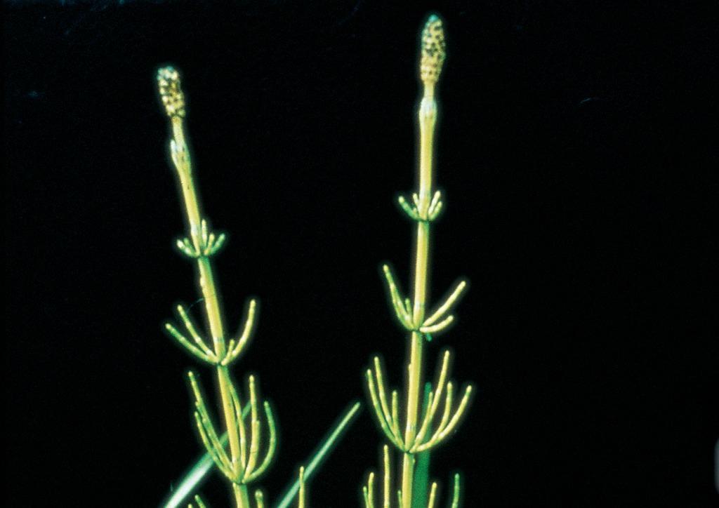 Equisetum palustre - csíranövény