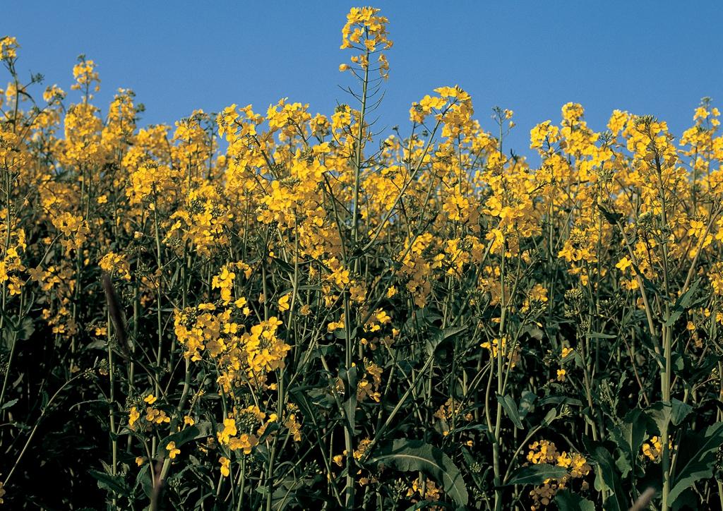 Brassica napus L. ssp. napus - kifejlett növény