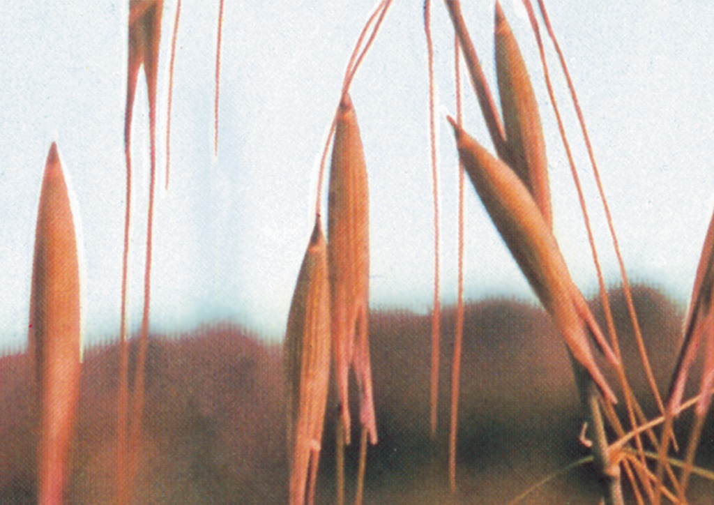 Avena sterilis - virágzat