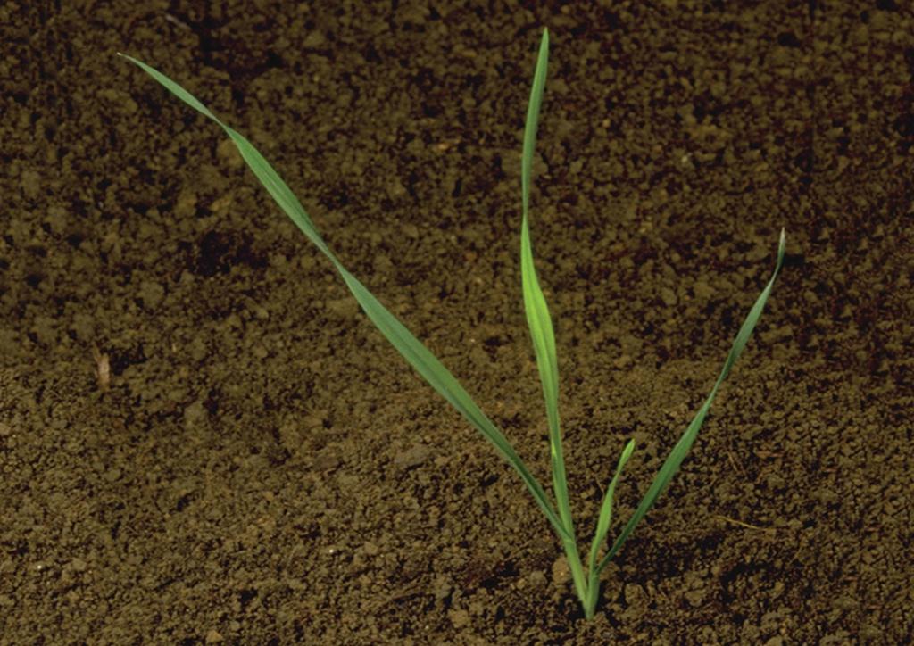 Bromus sterilis - csíranövény