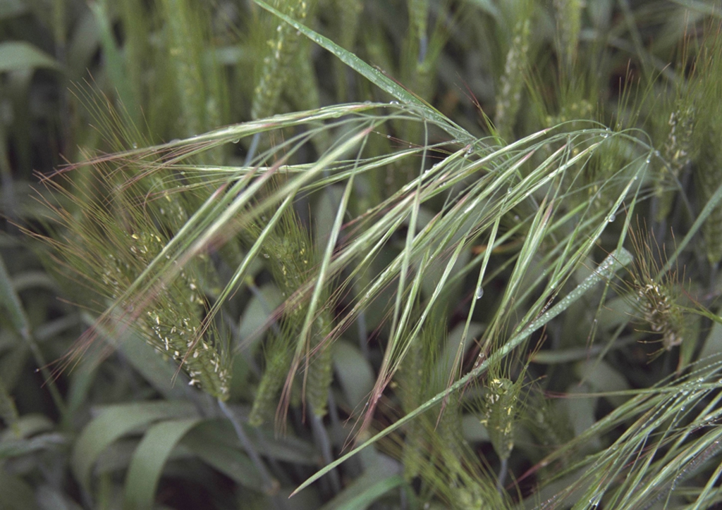 Bromus sterilis - kifejlett növény