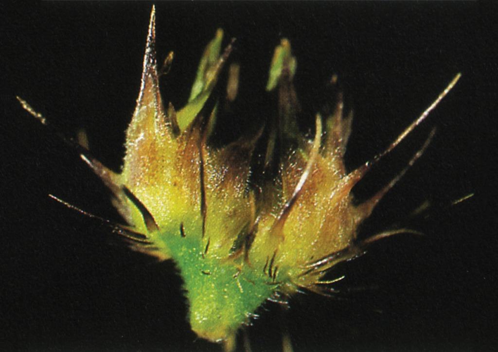 Cenchrus pauciflorus - termés
