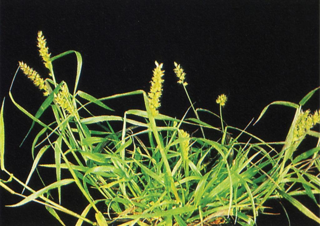 Cenchrus pauciflorus - kifejlett növény