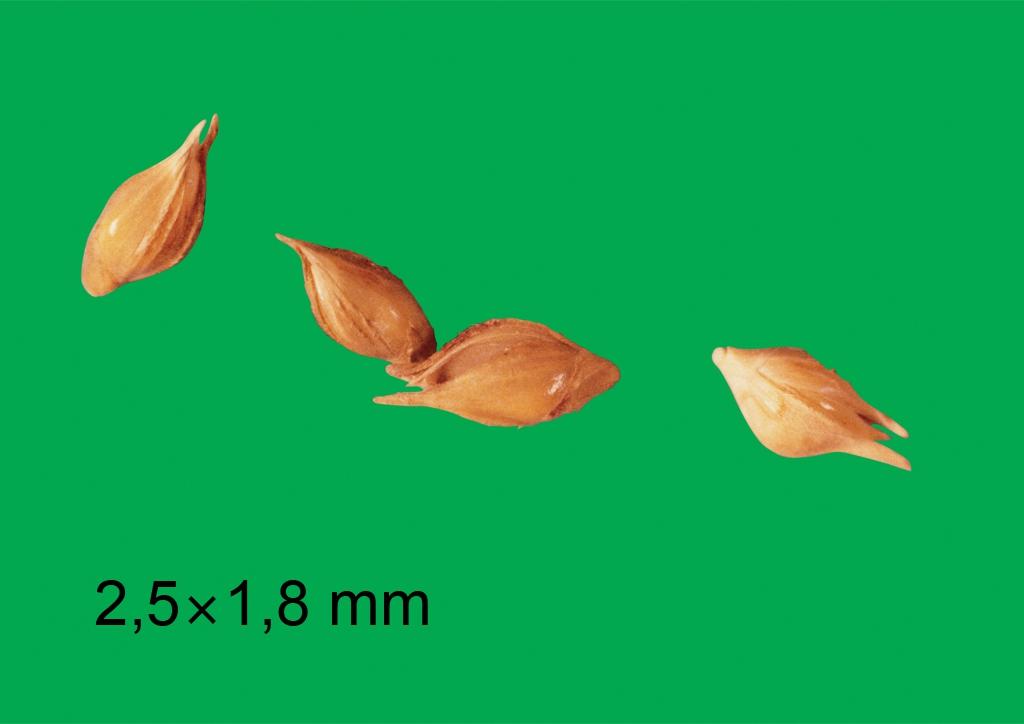 Echinochloa crus-galli - mag