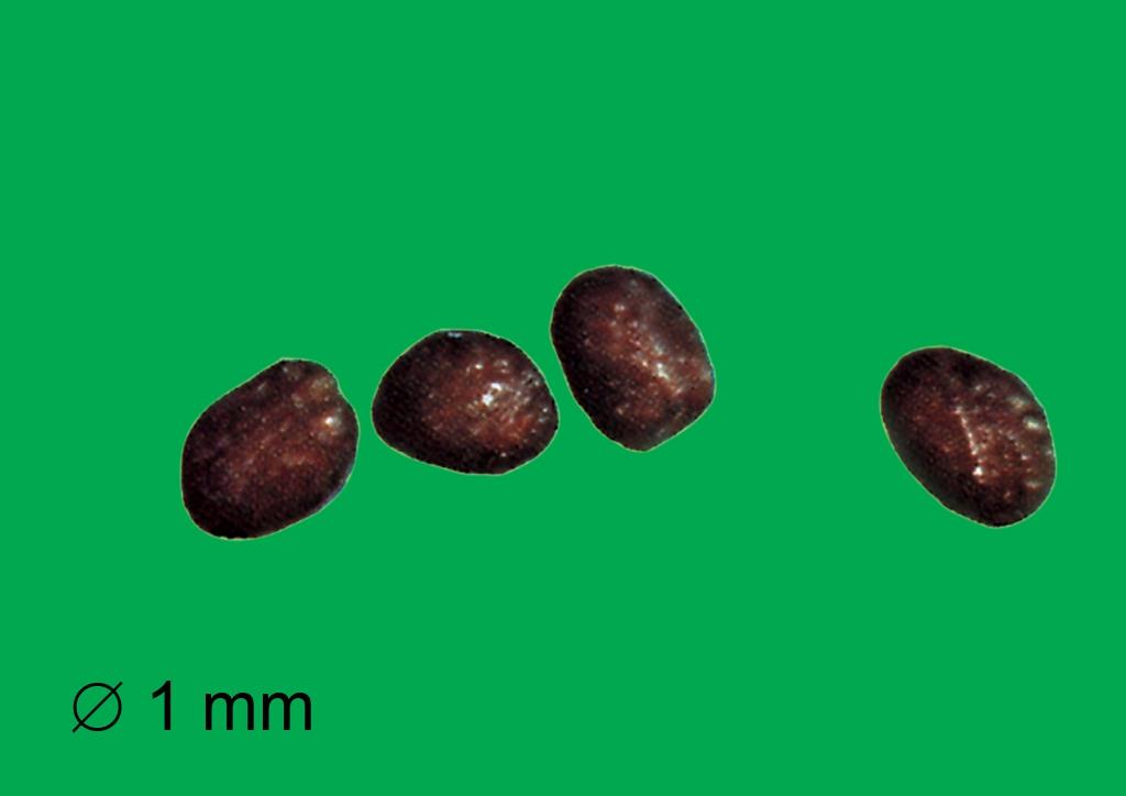 Eleusine indica - mag
