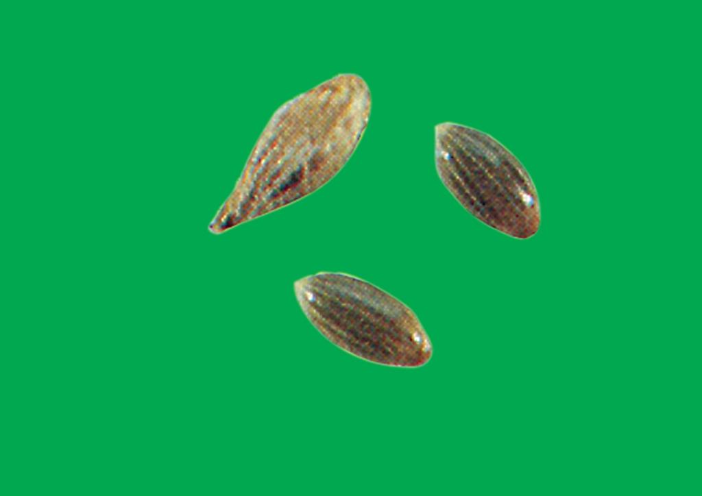 Panicum dichotomiflorum - mag
