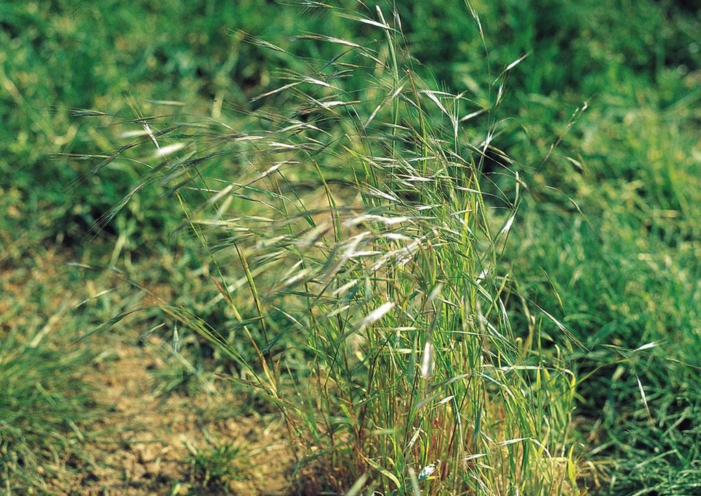 Panicum dichotomiflorum - kifejlett növény