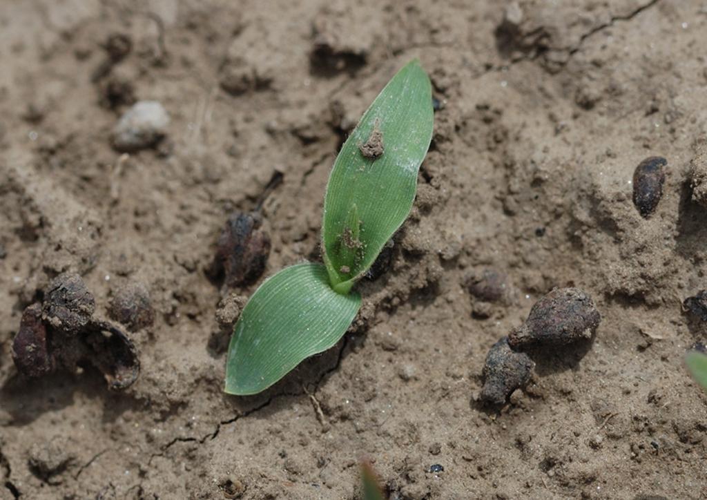 Panicum miliaceum - csíranövény