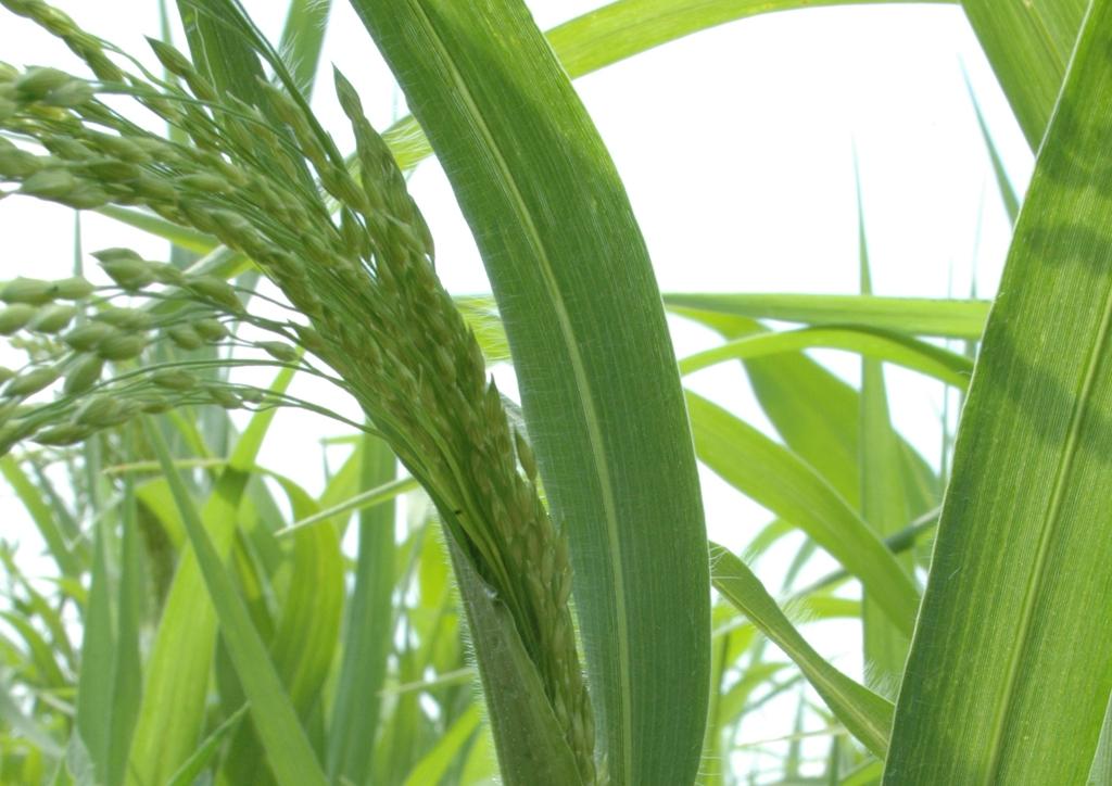 Panicum miliaceum - kifejlett növény