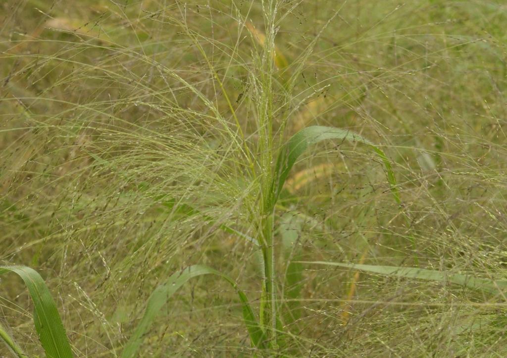 Panicum riparium - kifejlett növény