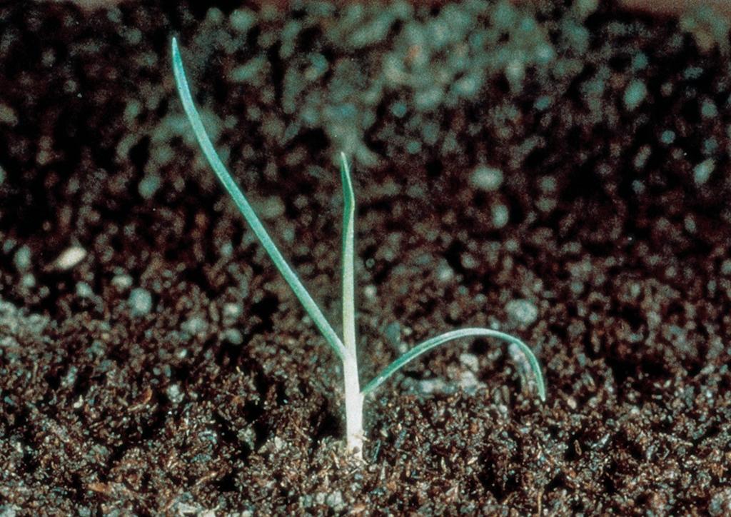 Poa annua - csíranövény