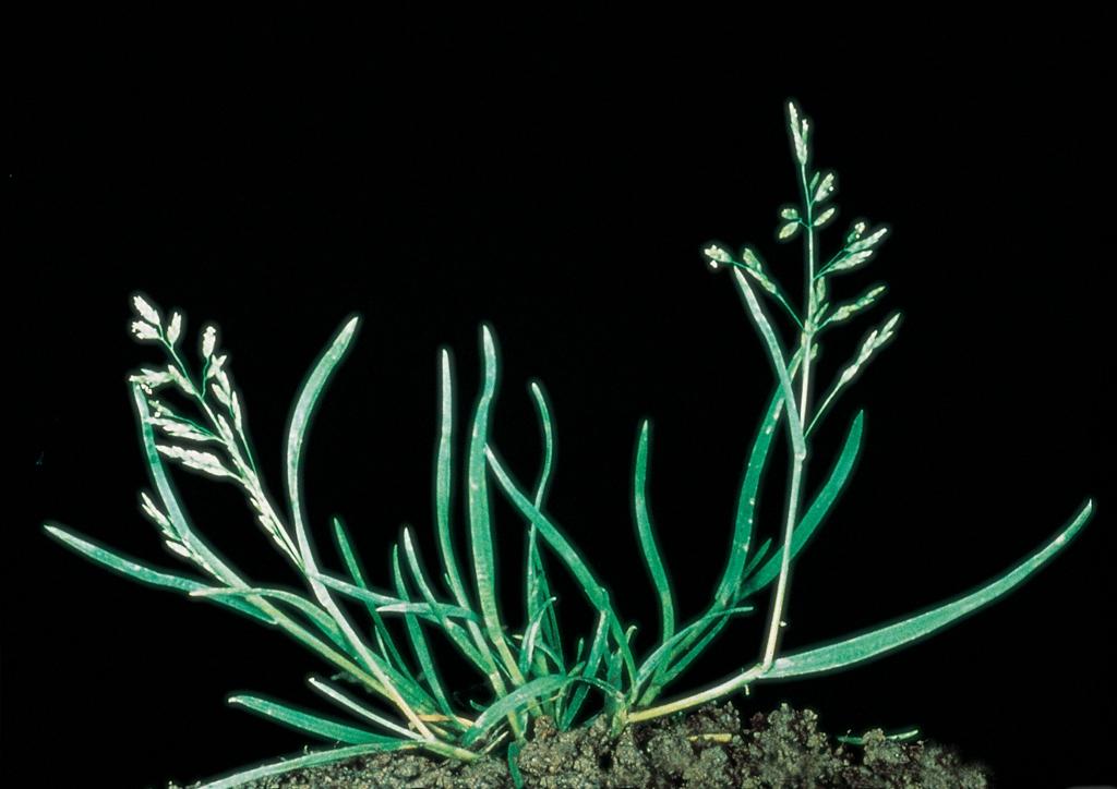Poa annua - kifejlett növény