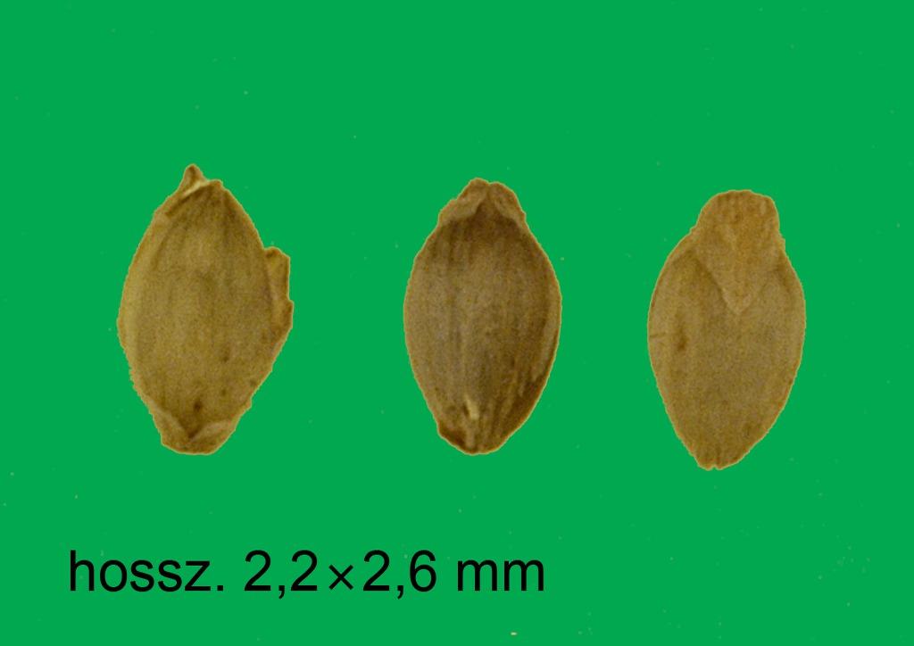 Setaria verticillata - mag