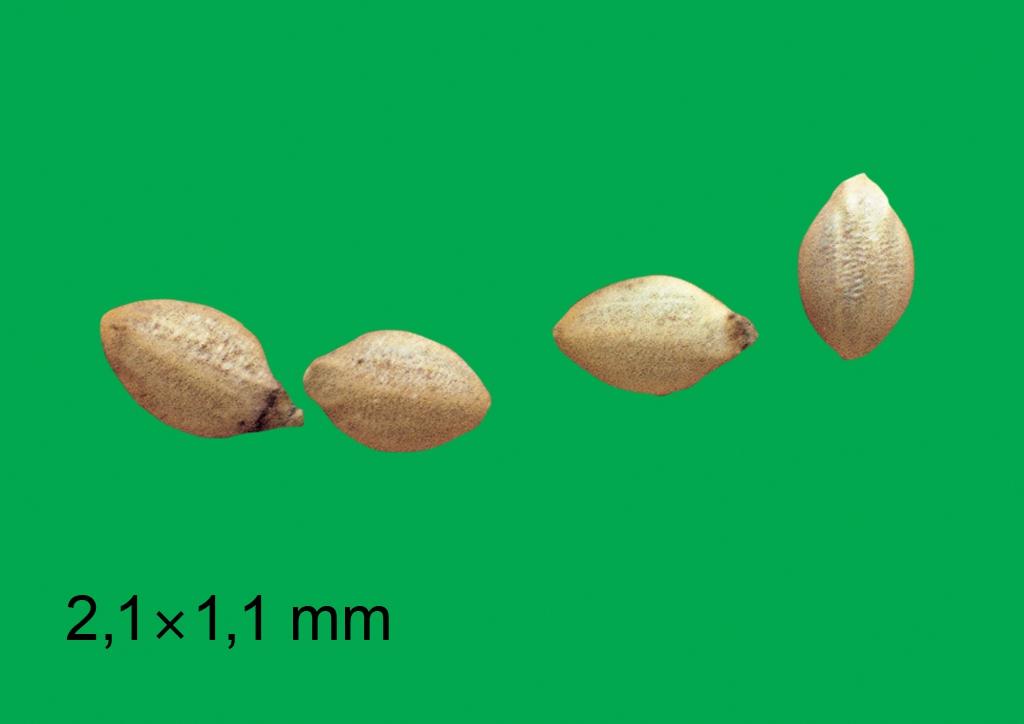 Setaria viridis - mag