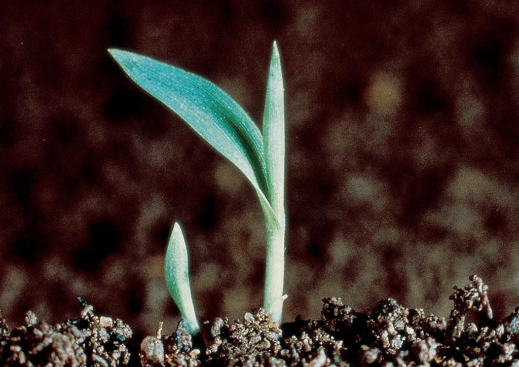 Setaria viridis - csíranövény