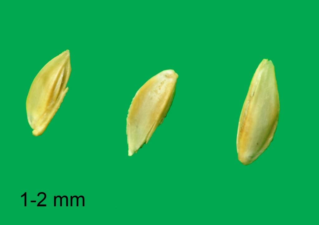 Cynodon dactylon - mag