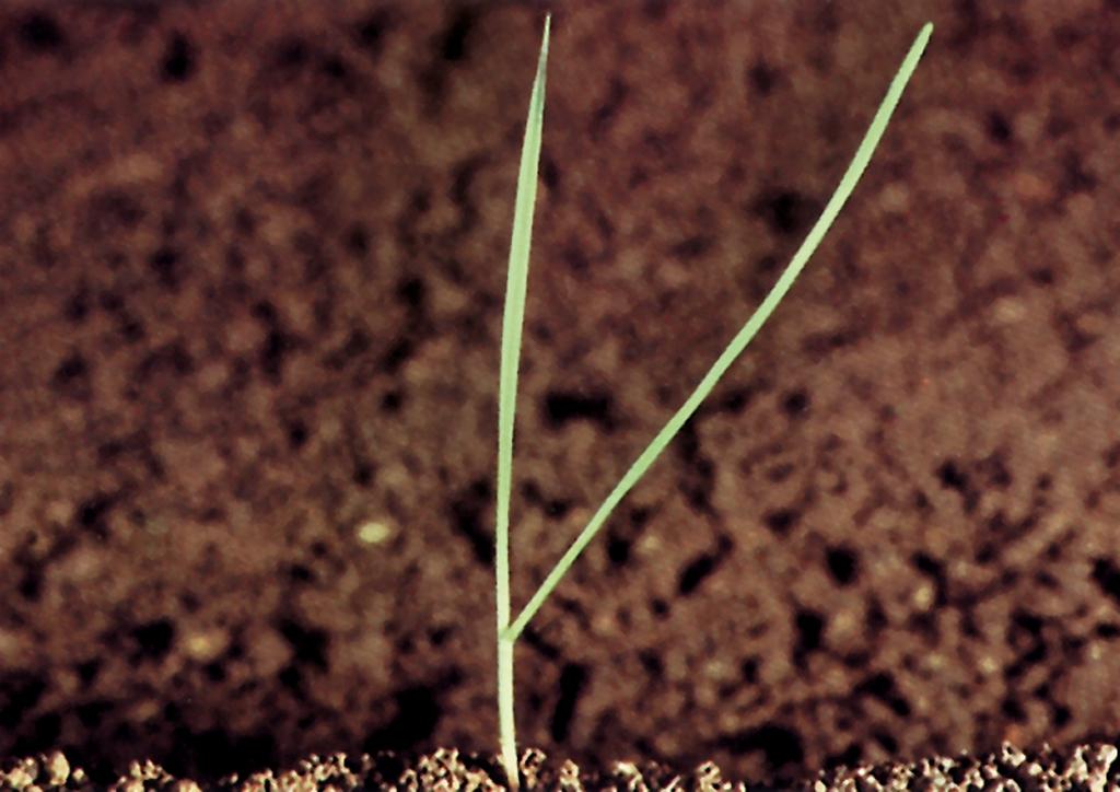 Lolium perenne - csíranövény