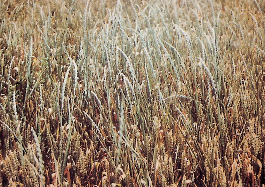 Lolium perenne - kifejlett növény