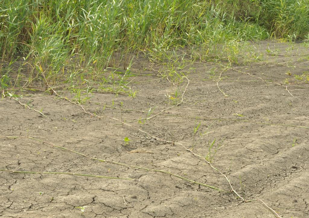 Phragmites communis - kifejlett növény