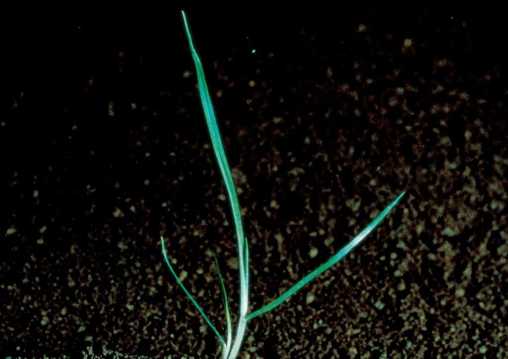 Poa pratensis - csíranövény