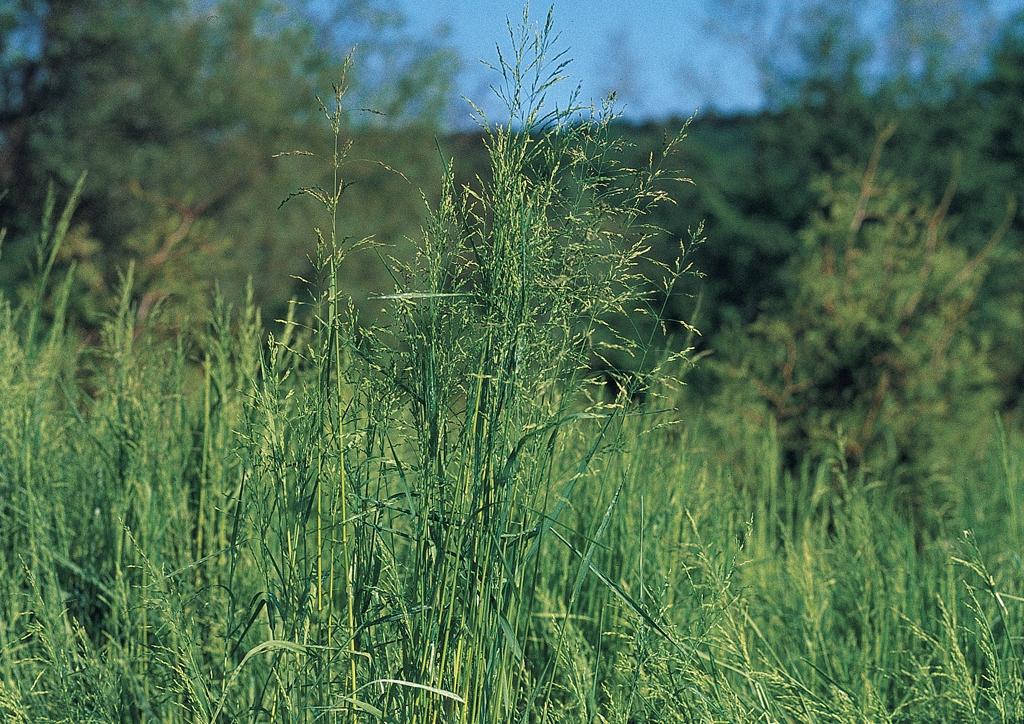 Poa trivialis - kifejlett növény