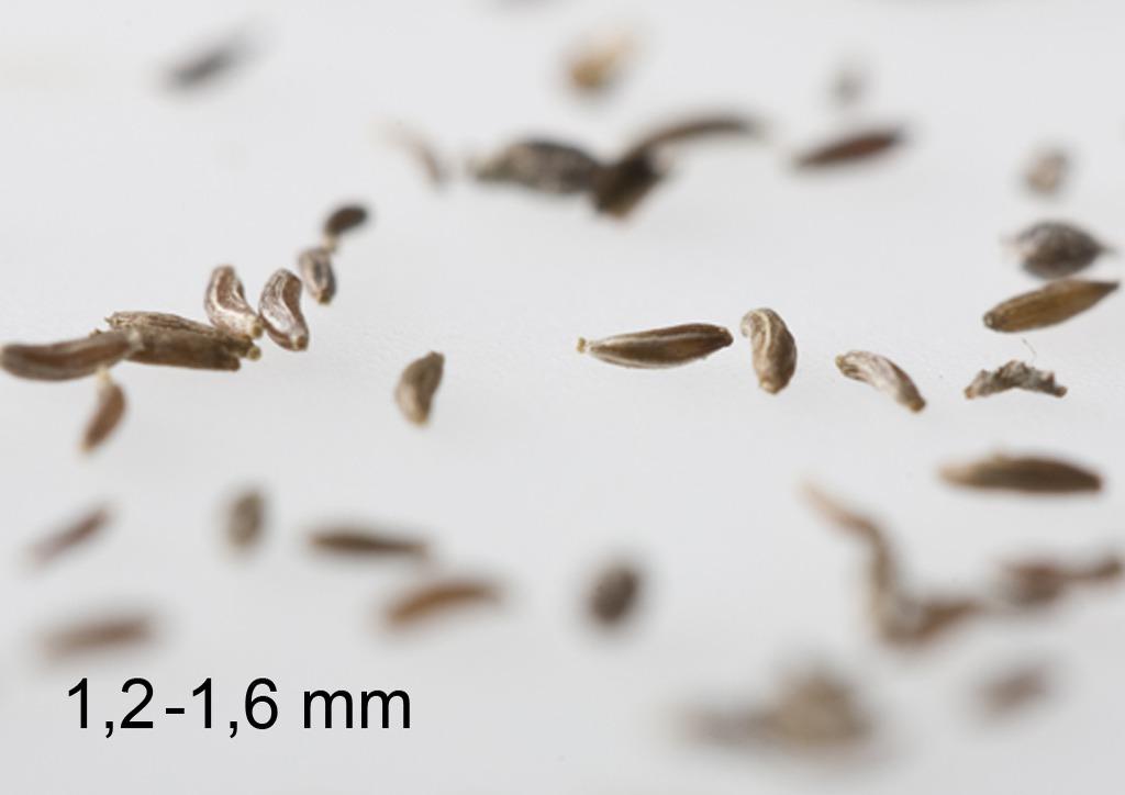Artemisia vulgaris - mag