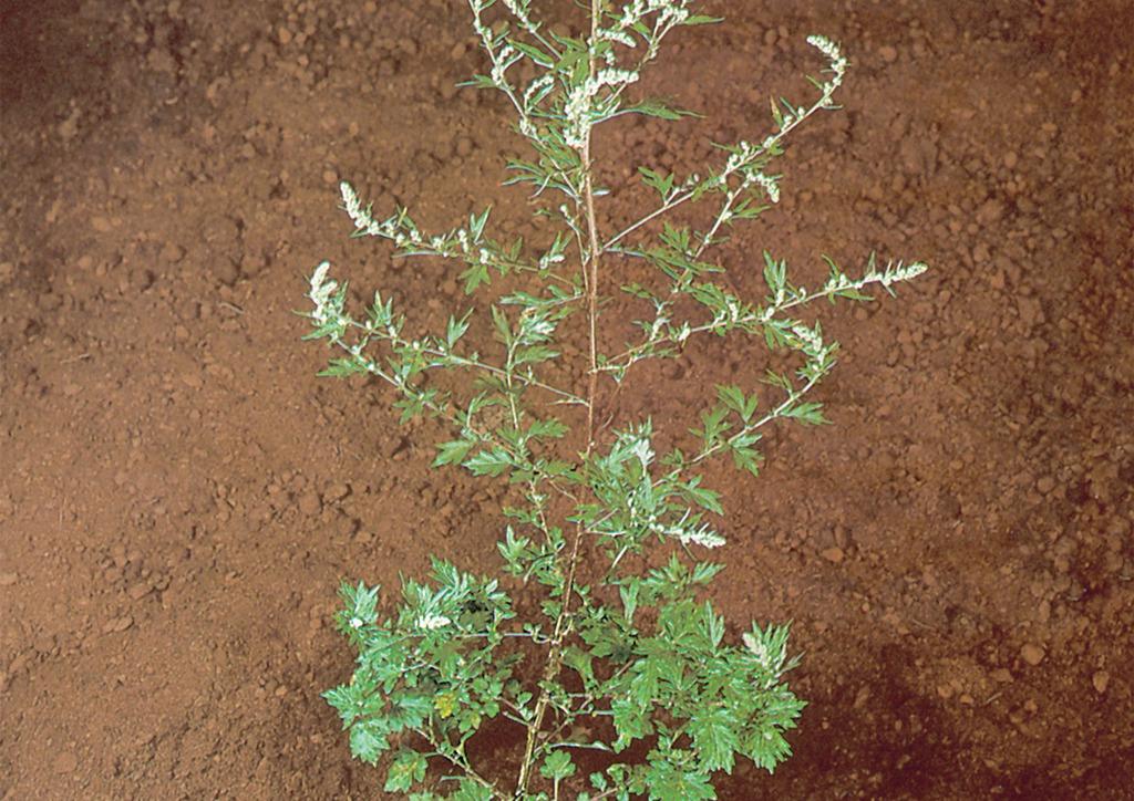 Artemisia vulgaris - kifejlett növény