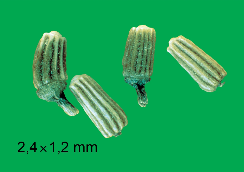 Chrysanthemum segetum - mag