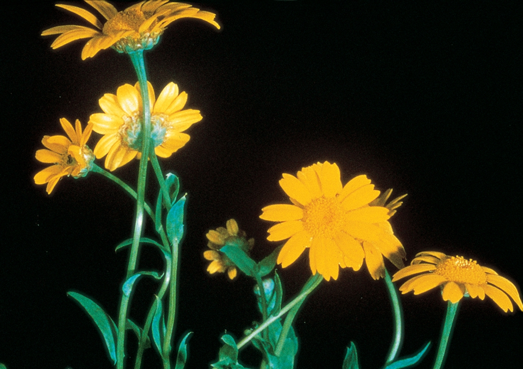 Chrysanthemum segetum - kifejlett növény