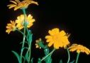 Vetési aranyvirág