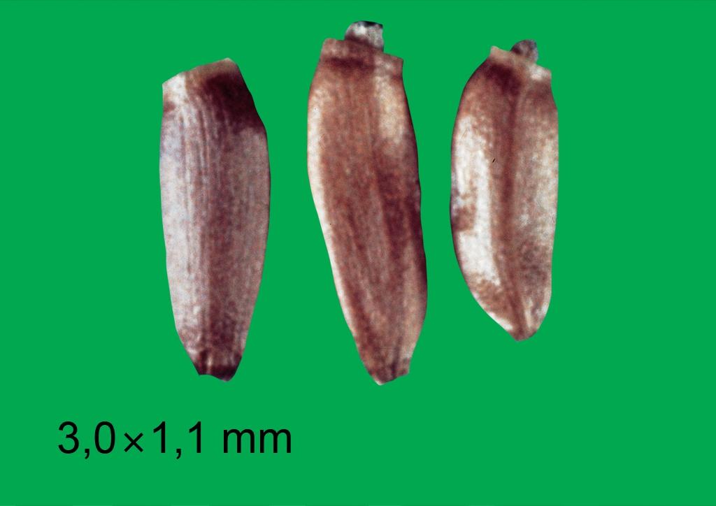 Cirsium arvense - mag