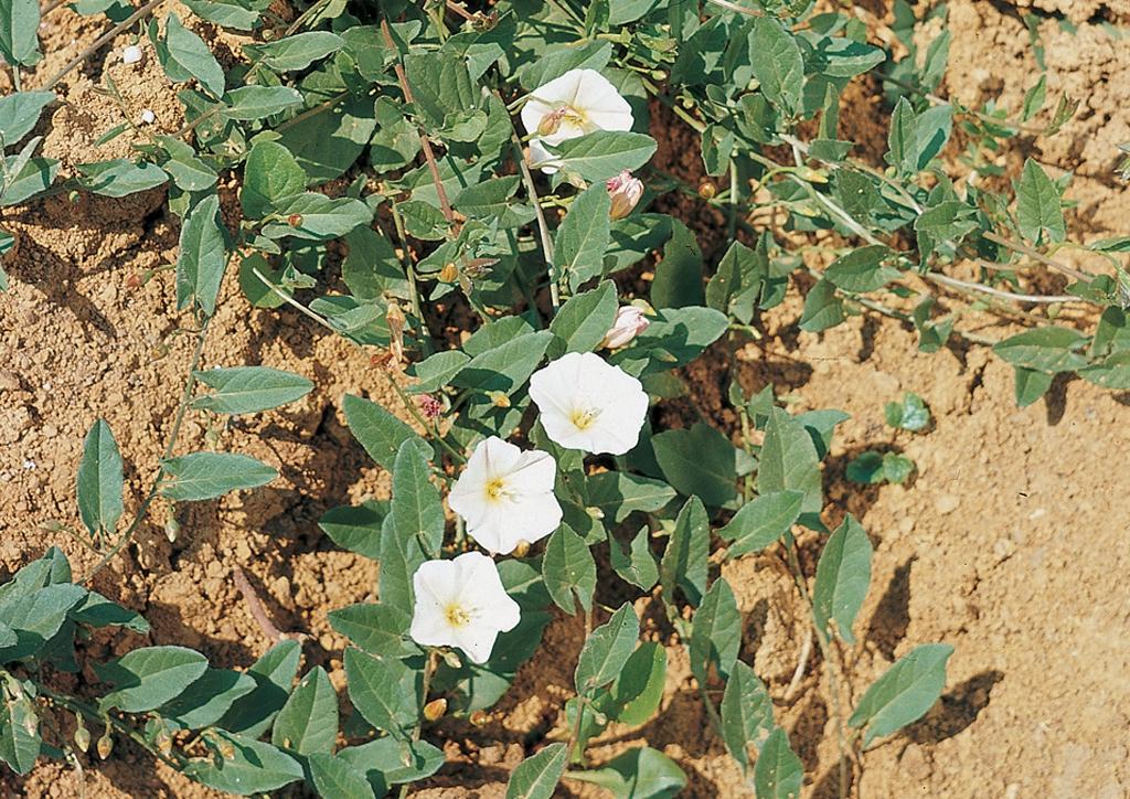 Convolvulus arvensis - kifejlett növény