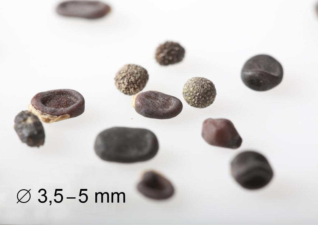 Lathyrus tuberosus - mag