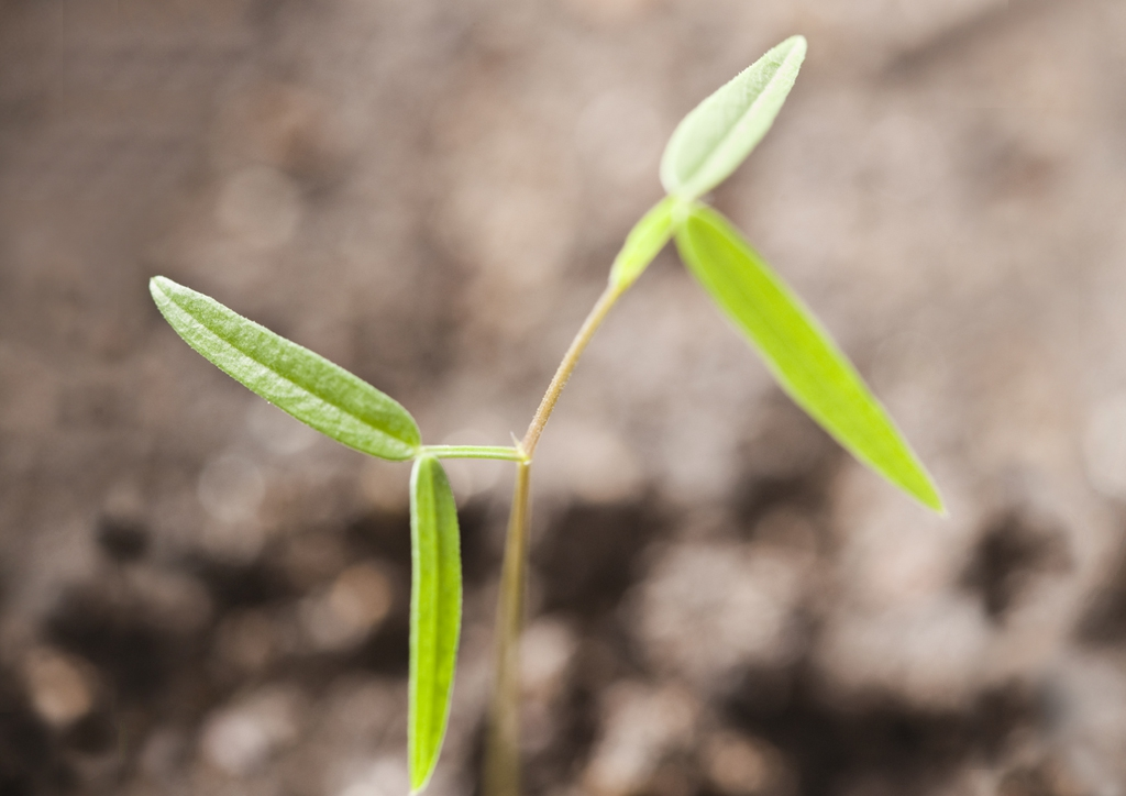 Lathyrus tuberosus - csíranövény