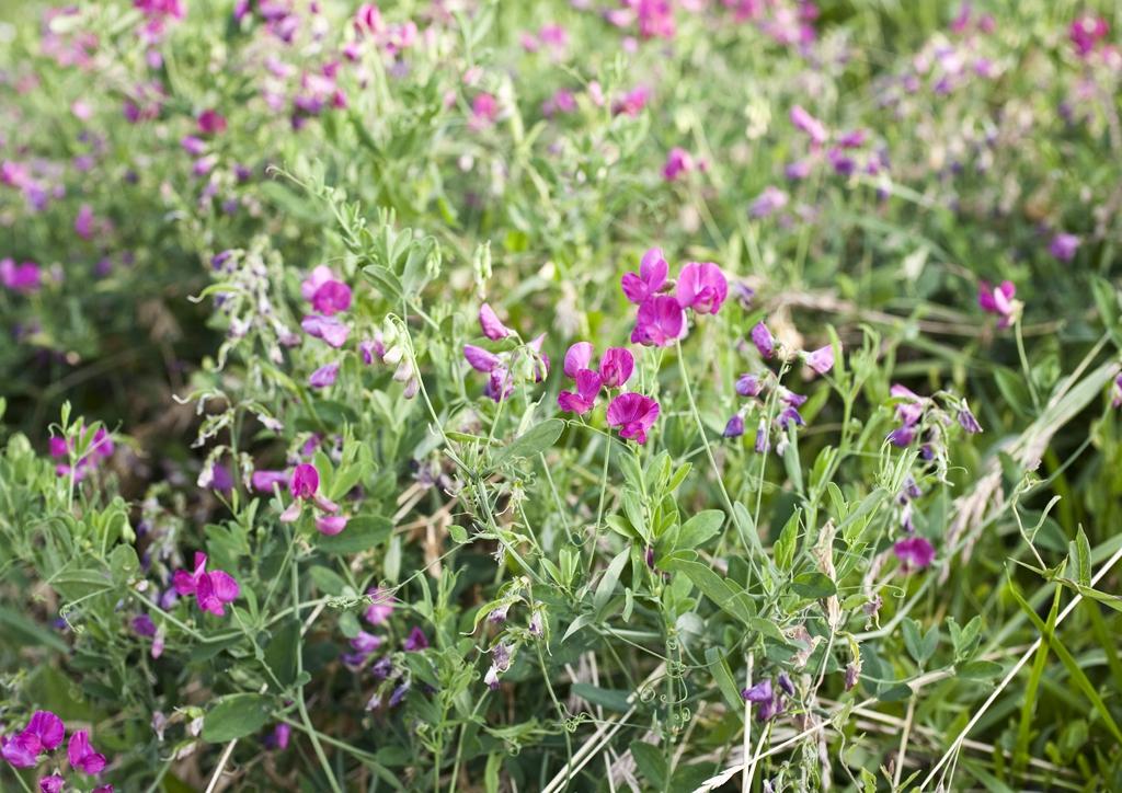 Lathyrus tuberosus - kifejlett növény