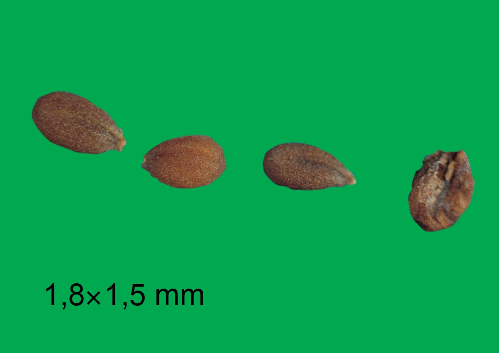 Lepidium (Cardaria) draba - mag
