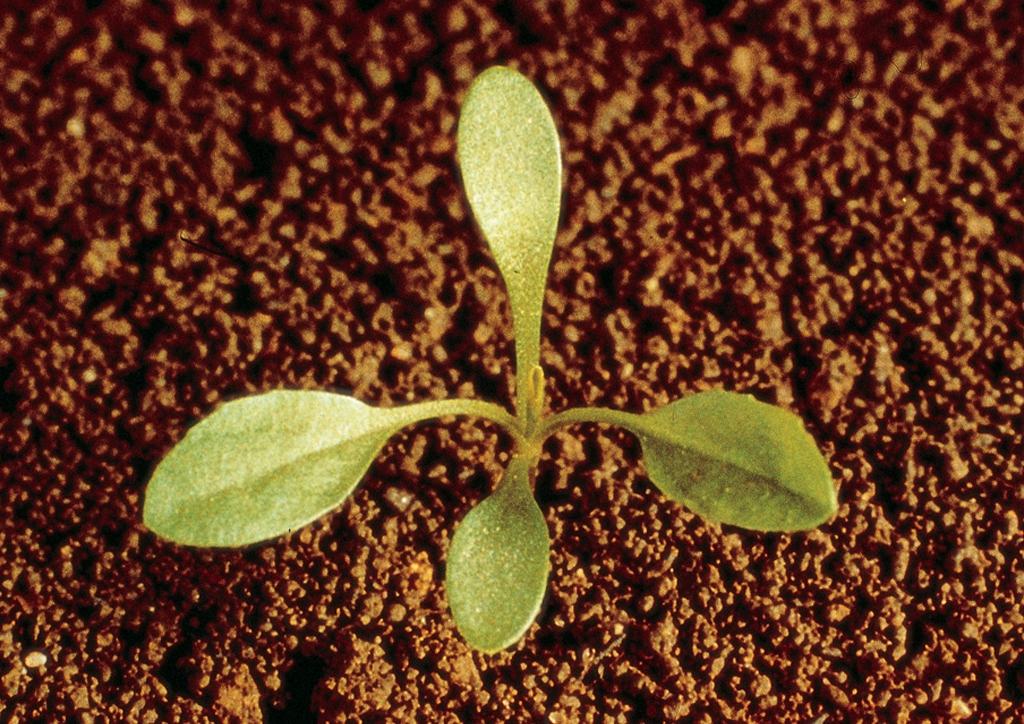 Lepidium (Cardaria) draba - csíranövény