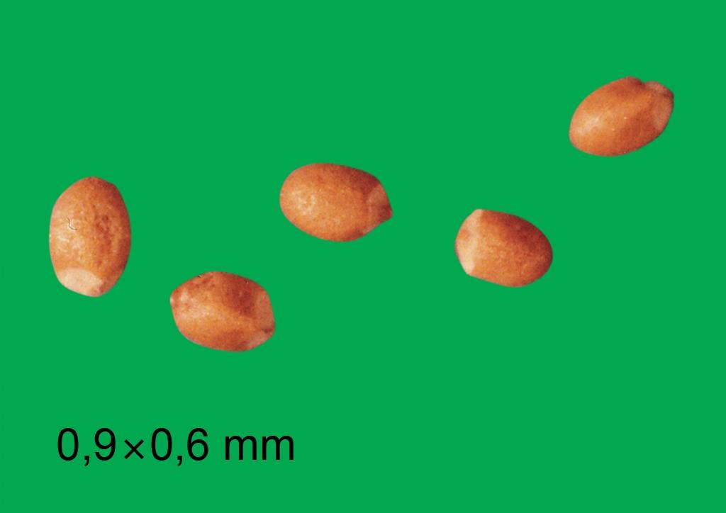 Mentha arvensis - mag