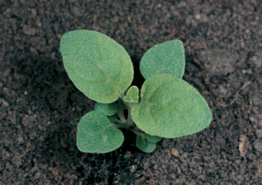 Mentha arvensis - csíranövény