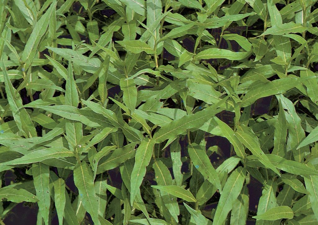 Polygonum amphibium - kifejlett növény
